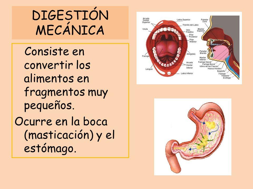 Consiste en convertir los alimentos en fragmentos muy pequeños. Ocurre en la boca (masticación) y el estómago. DIGESTIÓN MECÁNICA