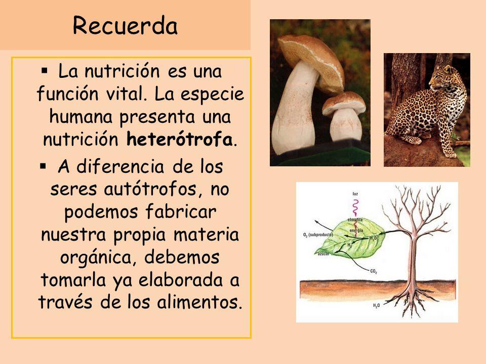 Recuerda La nutrición es una función vital. La especie humana presenta una nutrición heterótrofa. A diferencia de los seres autótrofos, no podemos fab