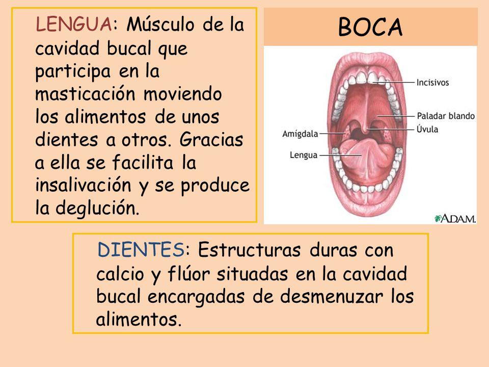 LENGUA: Músculo de la cavidad bucal que participa en la masticación moviendo los alimentos de unos dientes a otros. Gracias a ella se facilita la insa