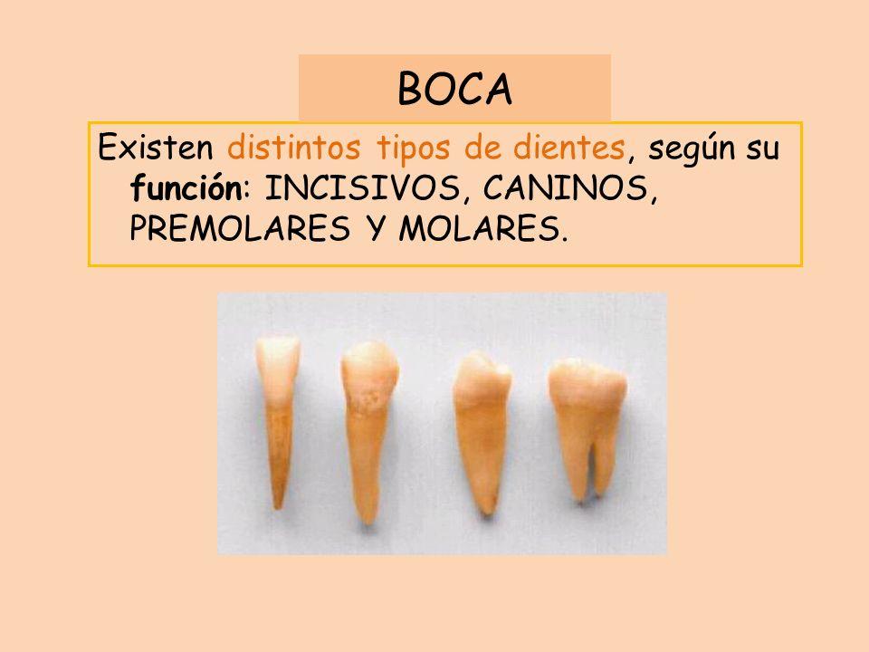 Existen distintos tipos de dientes, según su función: INCISIVOS, CANINOS, PREMOLARES Y MOLARES. BOCA