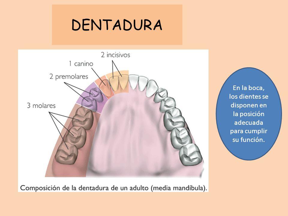 DENTADURA En la boca, los dientes se disponen en la posición adecuada para cumplir su función.