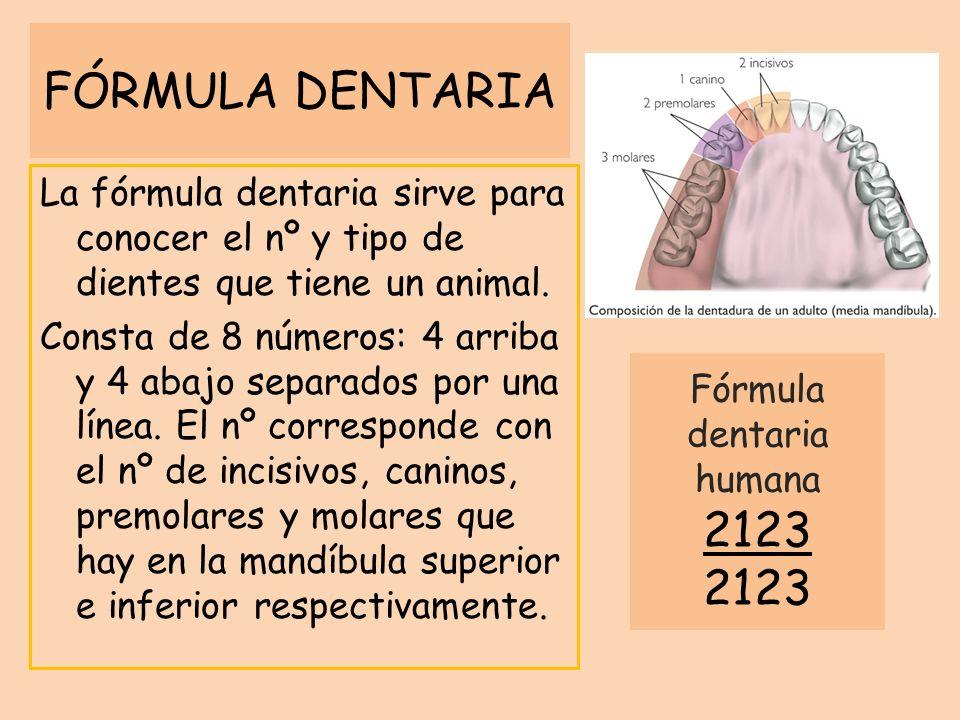 FÓRMULA DENTARIA La fórmula dentaria sirve para conocer el nº y tipo de dientes que tiene un animal. Consta de 8 números: 4 arriba y 4 abajo separados