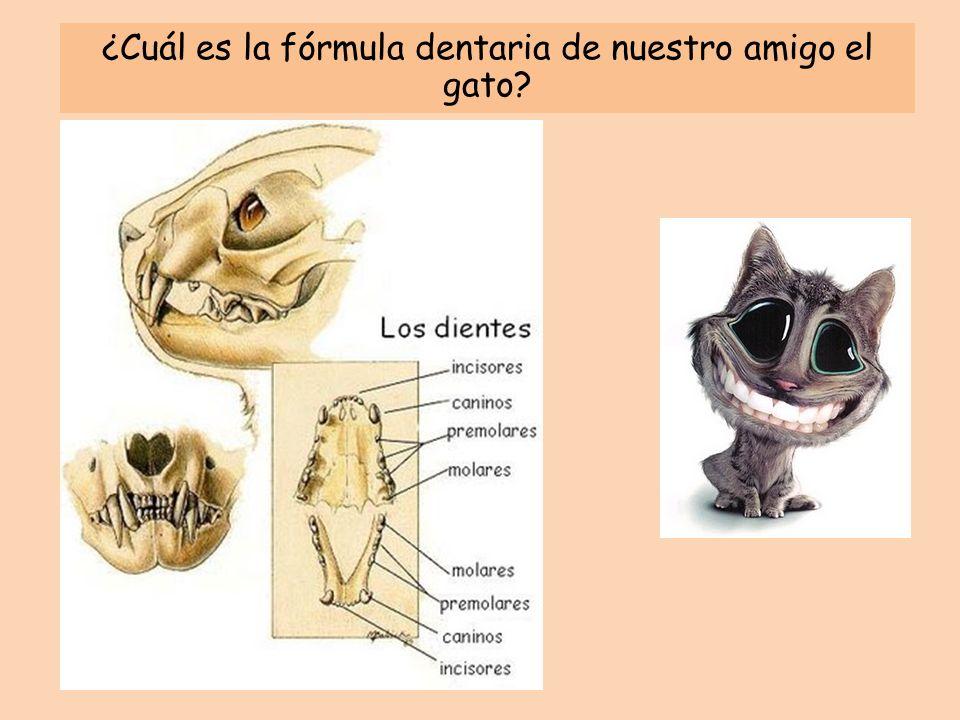 ¿Cuál es la fórmula dentaria de nuestro amigo el gato?