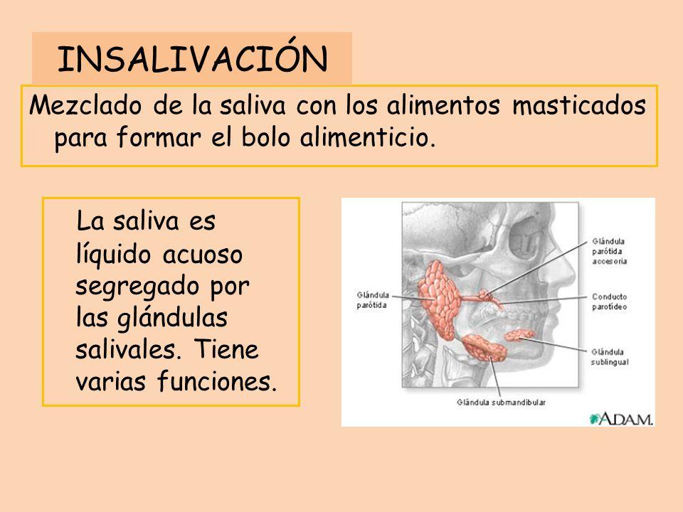Mezclado de la saliva con los alimentos masticados para formar el bolo alimenticio. La saliva es líquido acuoso segregado por las glándulas salivales.