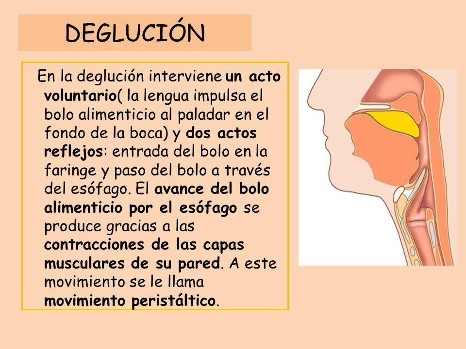 DEGLUCIÓN En la deglución interviene un acto voluntario( la lengua impulsa el bolo alimenticio al paladar en el fondo de la boca) y dos actos reflejos