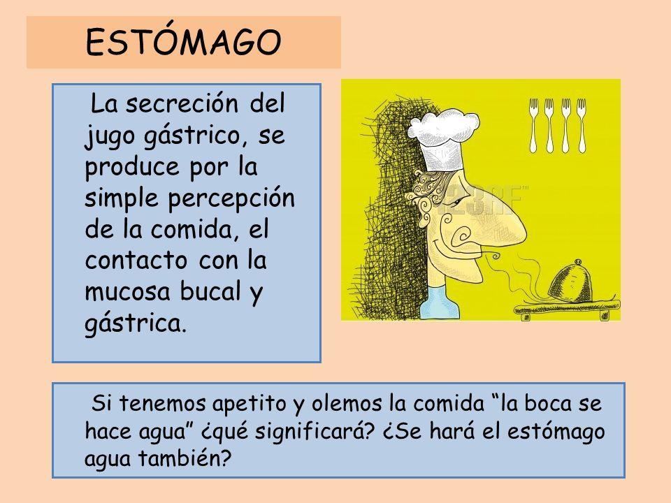 ESTÓMAGO La secreción del jugo gástrico, se produce por la simple percepción de la comida, el contacto con la mucosa bucal y gástrica. Si tenemos apet