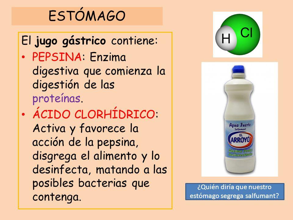 ESTÓMAGO El jugo gástrico contiene: PEPSINA: Enzima digestiva que comienza la digestión de las proteínas. ÁCIDO CLORHÍDRICO: Activa y favorece la acci