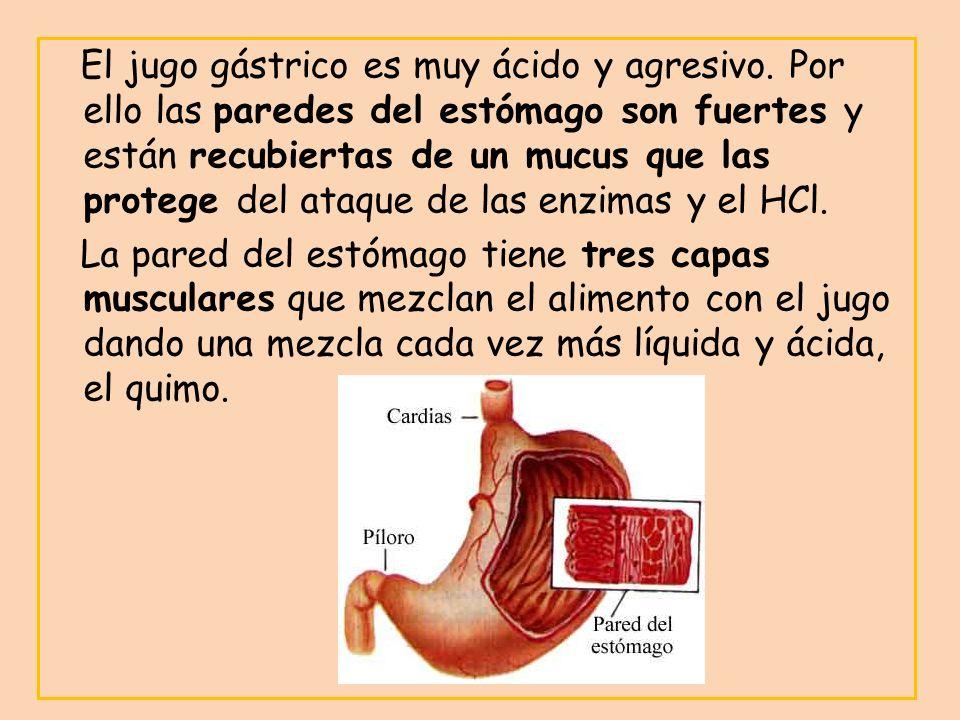 El jugo gástrico es muy ácido y agresivo. Por ello las paredes del estómago son fuertes y están recubiertas de un mucus que las protege del ataque de