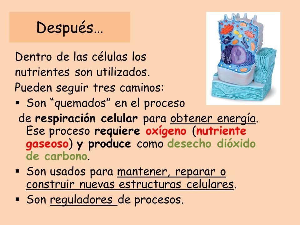 Funciones de la saliva Facilita el paso del bolo alimenticio al esófago Bactericida: mata bacterias presentes en los alimentos, pues contiene lisozima.