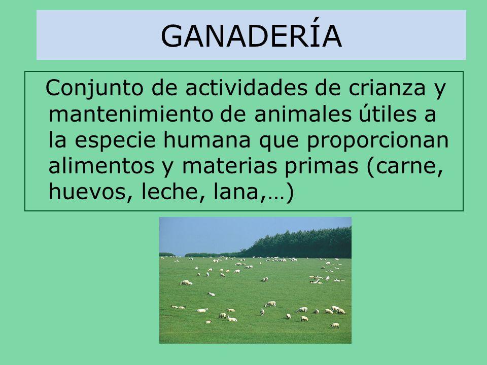 GANADERÍA Conjunto de actividades de crianza y mantenimiento de animales útiles a la especie humana que proporcionan alimentos y materias primas (carn