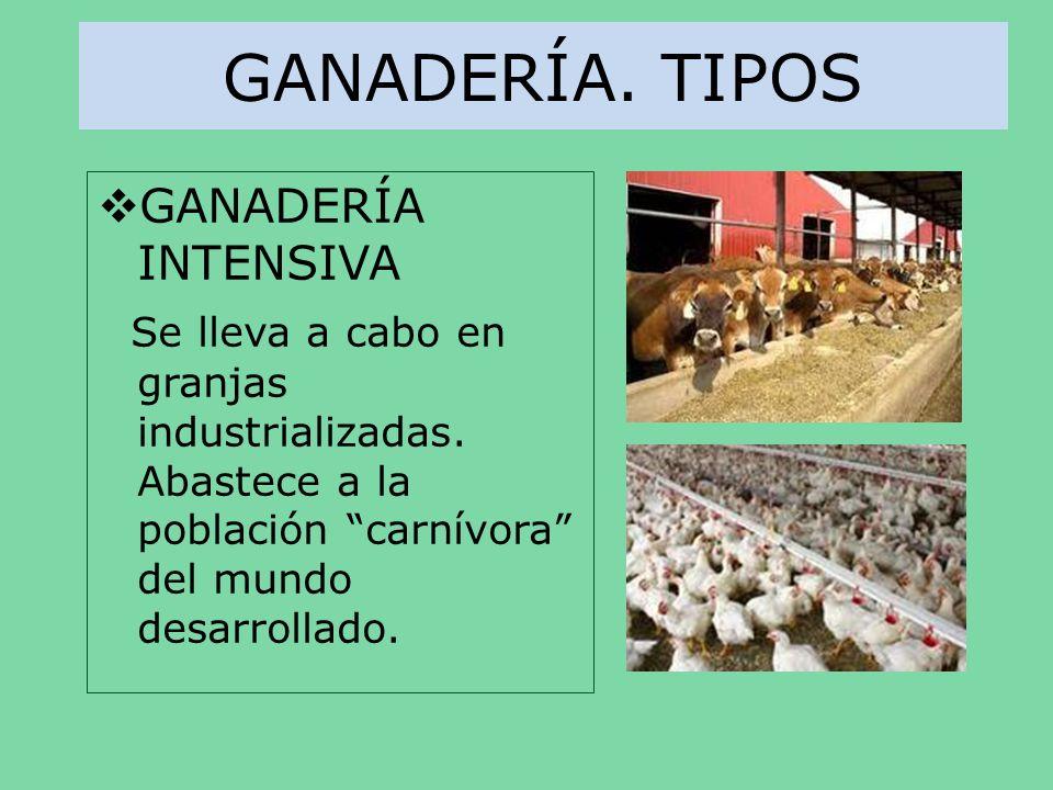 GANADERÍA. TIPOS GANADERÍA INTENSIVA Se lleva a cabo en granjas industrializadas. Abastece a la población carnívora del mundo desarrollado.
