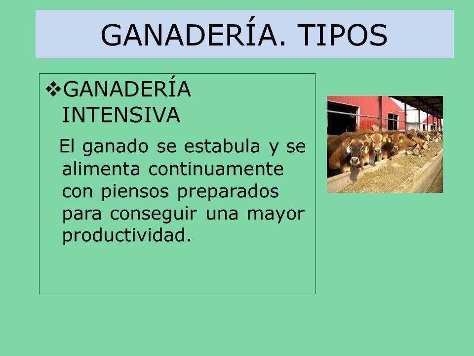 GANADERÍA. TIPOS GANADERÍA INTENSIVA El ganado se estabula y se alimenta continuamente con piensos preparados para conseguir una mayor productividad.