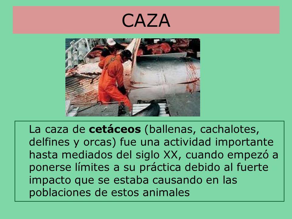 CAZA La caza de cetáceos (ballenas, cachalotes, delfines y orcas) fue una actividad importante hasta mediados del siglo XX, cuando empezó a ponerse lí