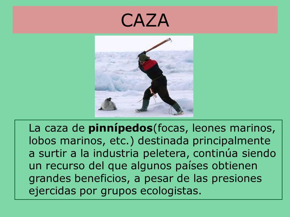 CAZA La caza de pinnípedos(focas, leones marinos, lobos marinos, etc.) destinada principalmente a surtir a la industria peletera, continúa siendo un r
