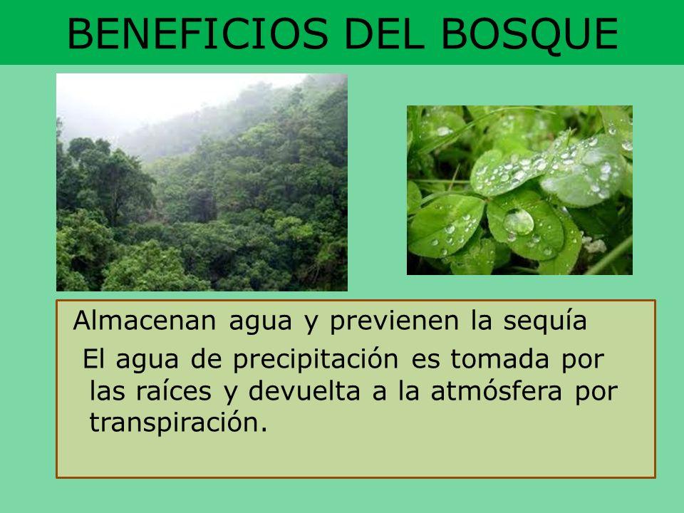 BENEFICIOS DEL BOSQUE Almacenan agua y previenen la sequía El agua de precipitación es tomada por las raíces y devuelta a la atmósfera por transpiraci