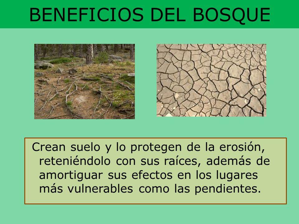 BENEFICIOS DEL BOSQUE Crean suelo y lo protegen de la erosión, reteniéndolo con sus raíces, además de amortiguar sus efectos en los lugares más vulner