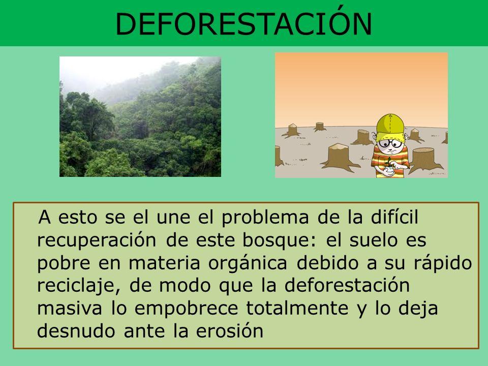DEFORESTACIÓN A esto se el une el problema de la difícil recuperación de este bosque: el suelo es pobre en materia orgánica debido a su rápido recicla
