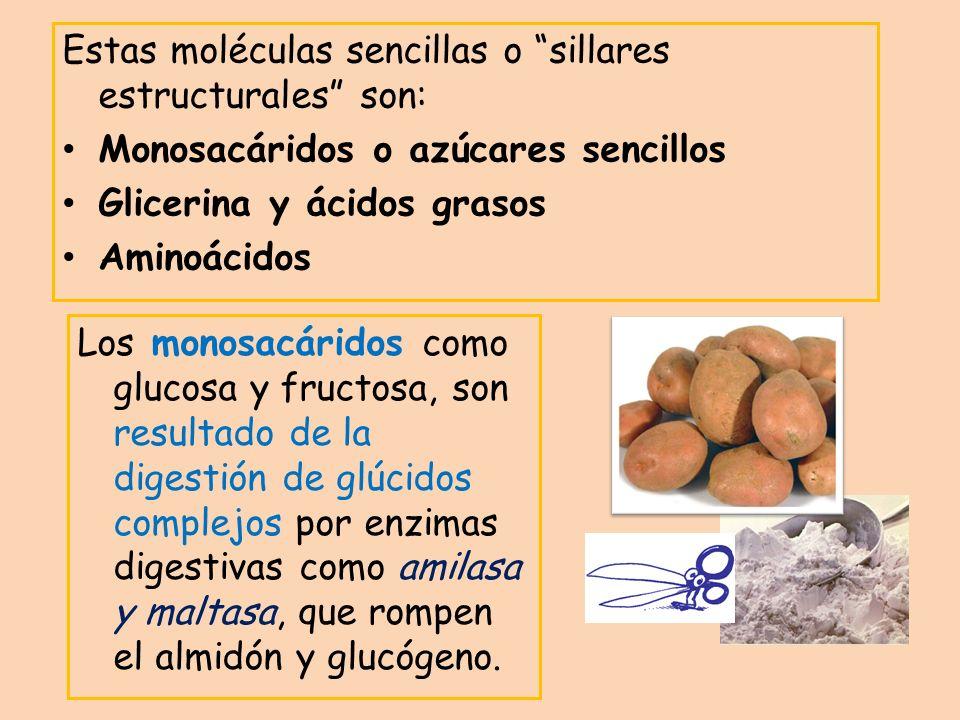 Estas moléculas sencillas o sillares estructurales son: Monosacáridos o azúcares sencillos Glicerina y ácidos grasos Aminoácidos Los monosacáridos com