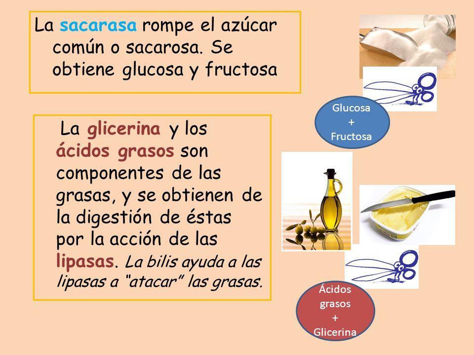 La sacarasa rompe el azúcar común o sacarosa. Se obtiene glucosa y fructosa La glicerina y los ácidos grasos son componentes de las grasas, y se obtie