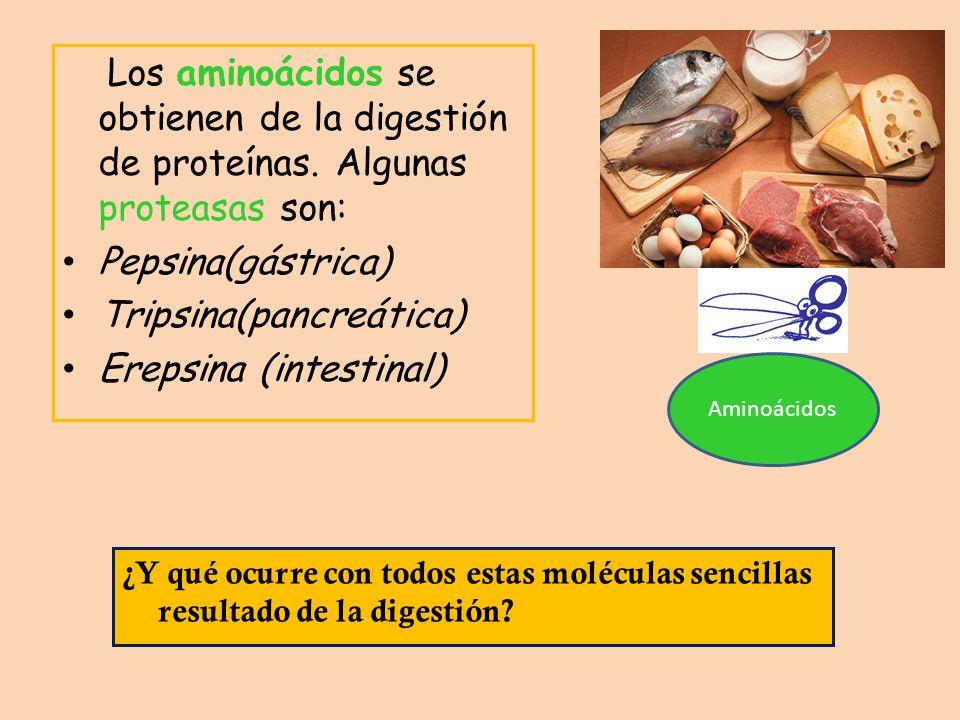 Los aminoácidos se obtienen de la digestión de proteínas. Algunas proteasas son: Pepsina(gástrica) Tripsina(pancreática) Erepsina (intestinal) Aminoác