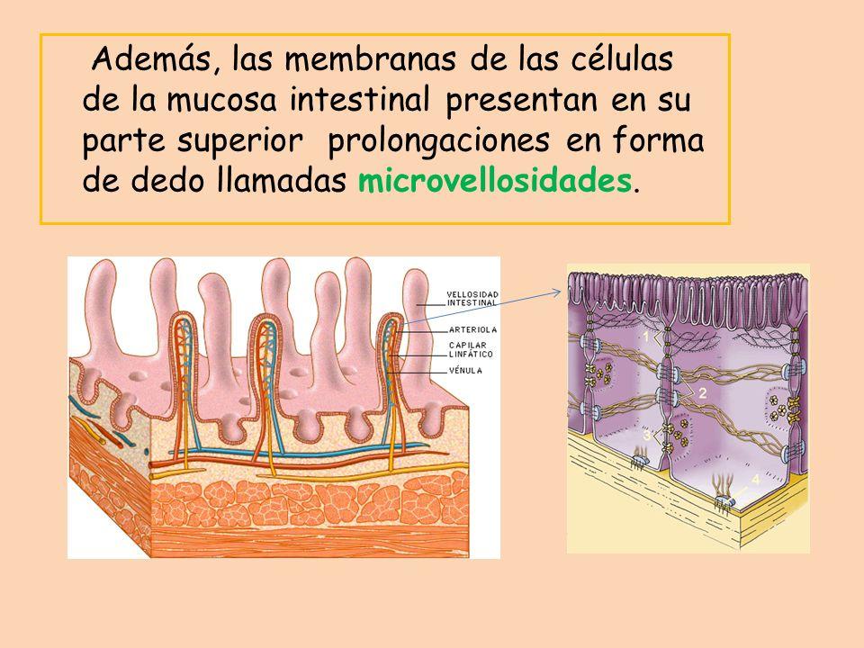 Además, las membranas de las células de la mucosa intestinal presentan en su parte superior prolongaciones en forma de dedo llamadas microvellosidades