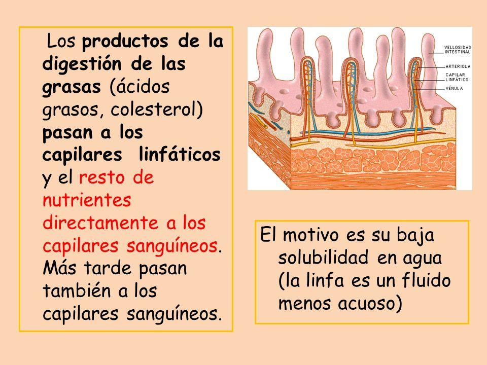 Los productos de la digestión de las grasas (ácidos grasos, colesterol) pasan a los capilares linfáticos y el resto de nutrientes directamente a los c