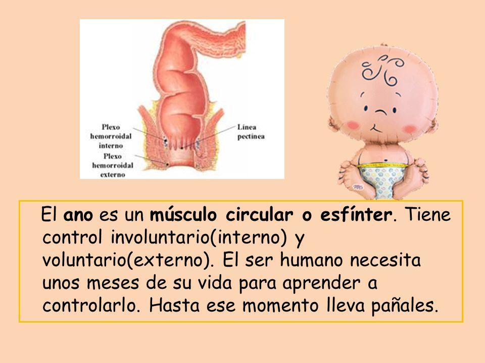 El ano es un músculo circular o esfínter. Tiene control involuntario(interno) y voluntario(externo). El ser humano necesita unos meses de su vida para