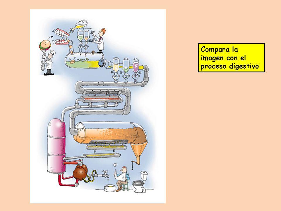 Compara la imagen con el proceso digestivo