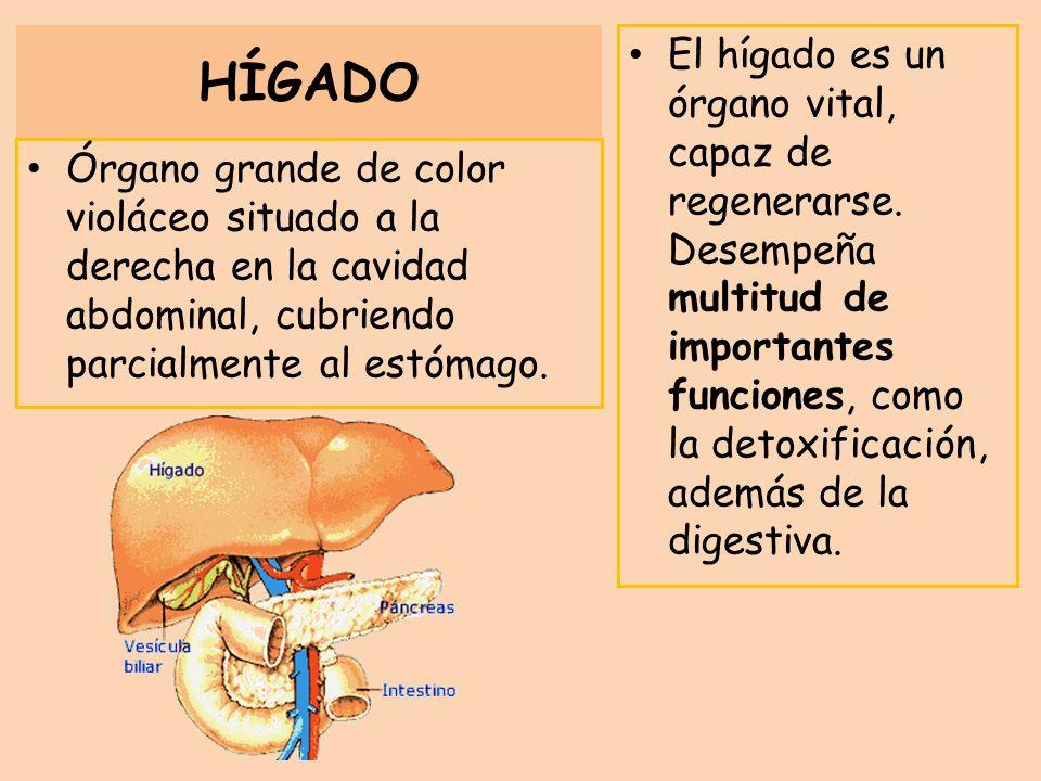 HÍGADO Órgano grande de color violáceo situado a la derecha en la cavidad abdominal, cubriendo parcialmente al estómago. El hígado es un órgano vital,