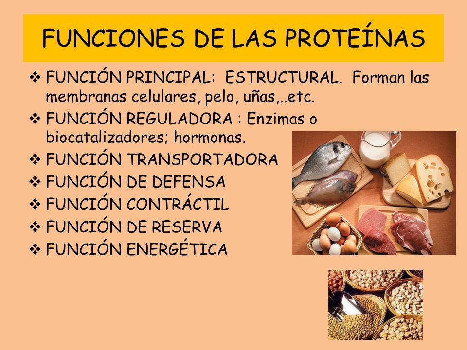 FUNCIONES DE LAS PROTEÍNAS FUNCIÓN PRINCIPAL: ESTRUCTURAL. Forman las membranas celulares, pelo, uñas,..etc. FUNCIÓN REGULADORA : Enzimas o biocataliz