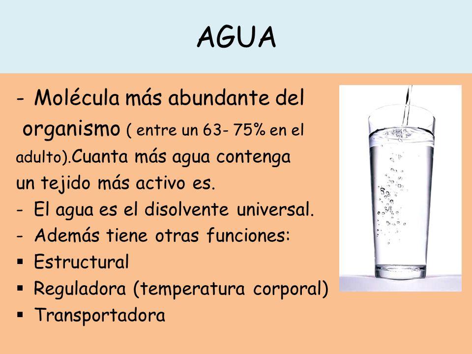 AGUA -Molécula más abundante del organismo ( entre un 63- 75% en el adulto). Cuanta más agua contenga un tejido más activo es. -El agua es el disolven