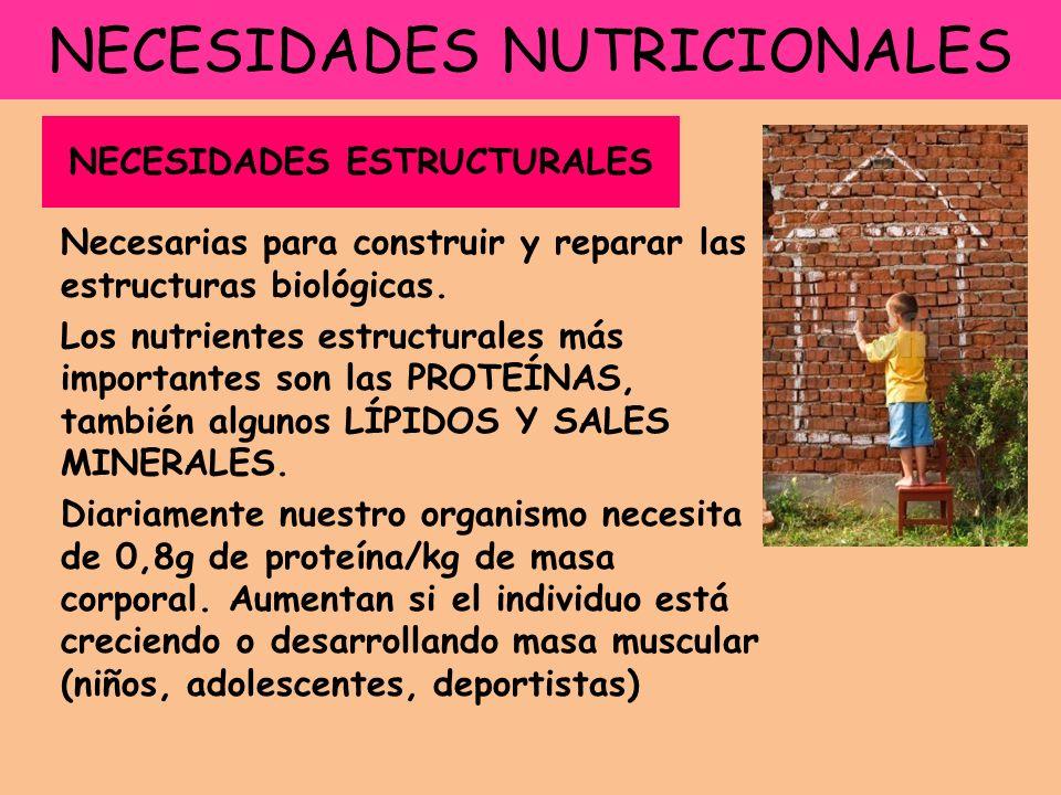 NECESIDADES NUTRICIONALES Necesarias para construir y reparar las estructuras biológicas. Los nutrientes estructurales más importantes son las PROTEÍN