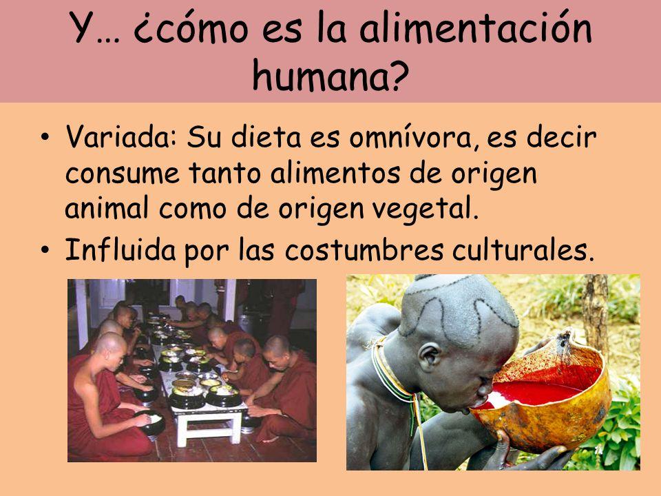 Y… ¿cómo es la alimentación humana? Variada: Su dieta es omnívora, es decir consume tanto alimentos de origen animal como de origen vegetal. Influida