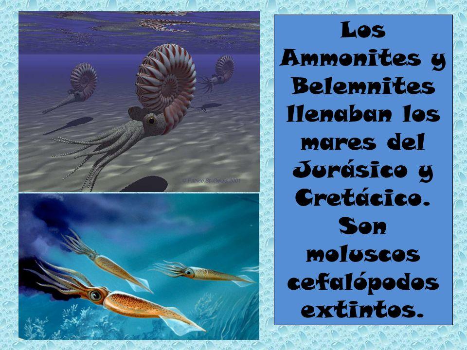 Los Ammonites y Belemnites llenaban los mares del Jurásico y Cretácico. Son moluscos cefalópodos extintos.