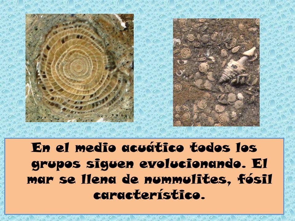 En el medio acuático todos los grupos siguen evolucionando. El mar se llena de nummulites, fósil característico.