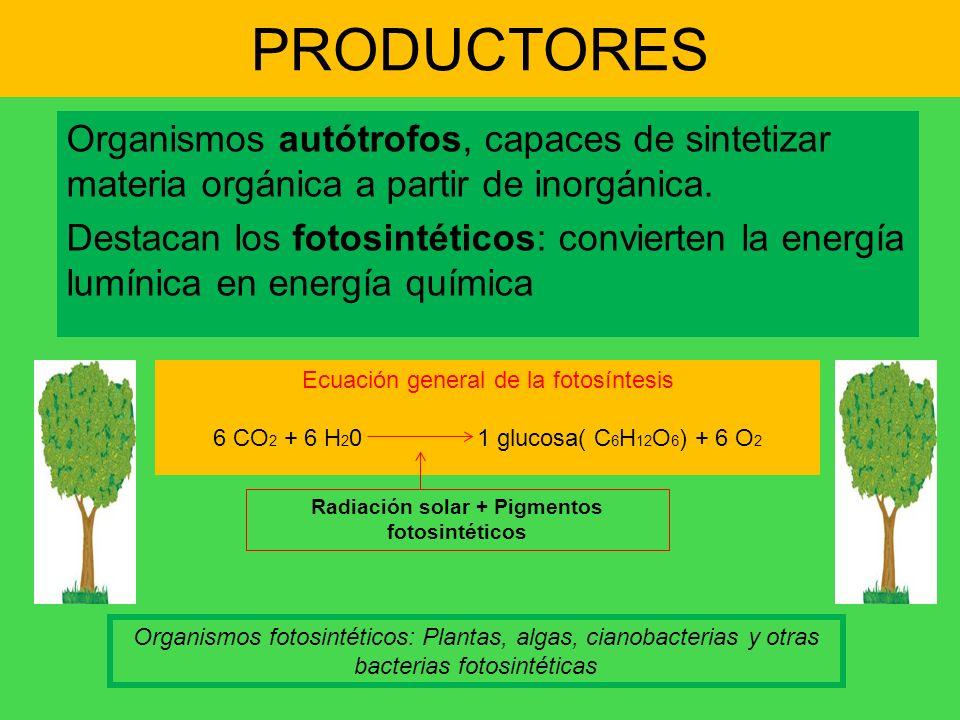 PRODUCTORES Organismos autótrofos, capaces de sintetizar materia orgánica a partir de inorgánica. Destacan los fotosintéticos: convierten la energía l