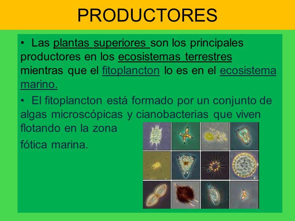 PRODUCTORES Las plantas superiores son los principales productores en los ecosistemas terrestres mientras que el fitoplancton lo es en el ecosistema m