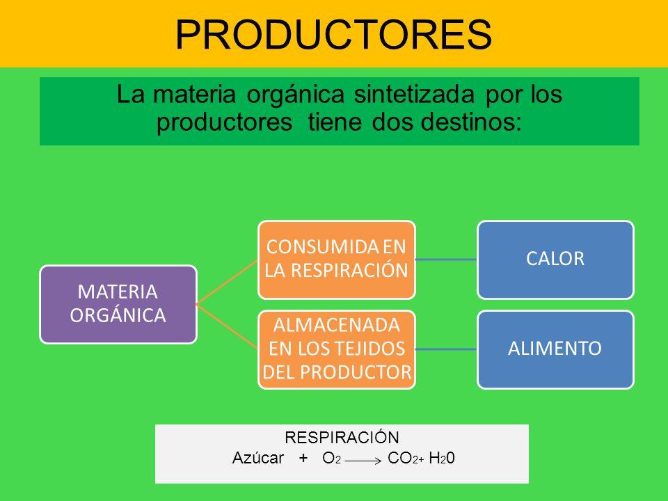 PRODUCTORES La materia orgánica sintetizada por los productores tiene dos destinos: MATERIA ORGÁNICA CONSUMIDA EN LA RESPIRACIÓN CALOR ALMACENADA EN L