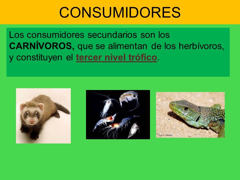 CONSUMIDORES Los consumidores secundarios son los CARNÍVOROS, que se alimentan de los herbívoros, y constituyen el tercer nivel trófico.