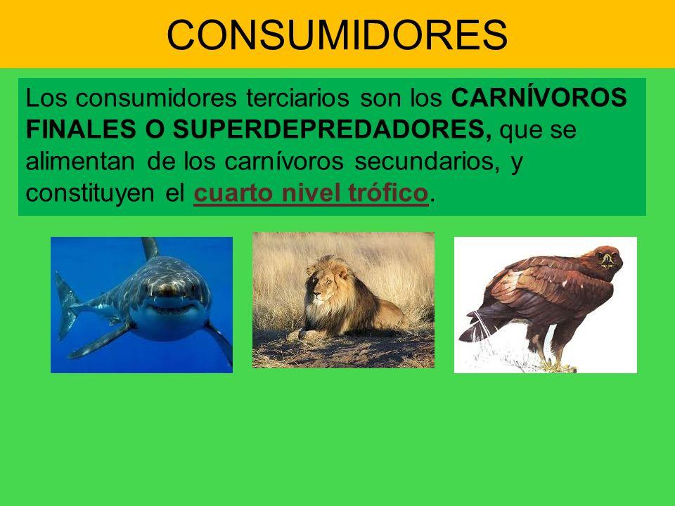 CONSUMIDORES Los consumidores terciarios son los CARNÍVOROS FINALES O SUPERDEPREDADORES, que se alimentan de los carnívoros secundarios, y constituyen
