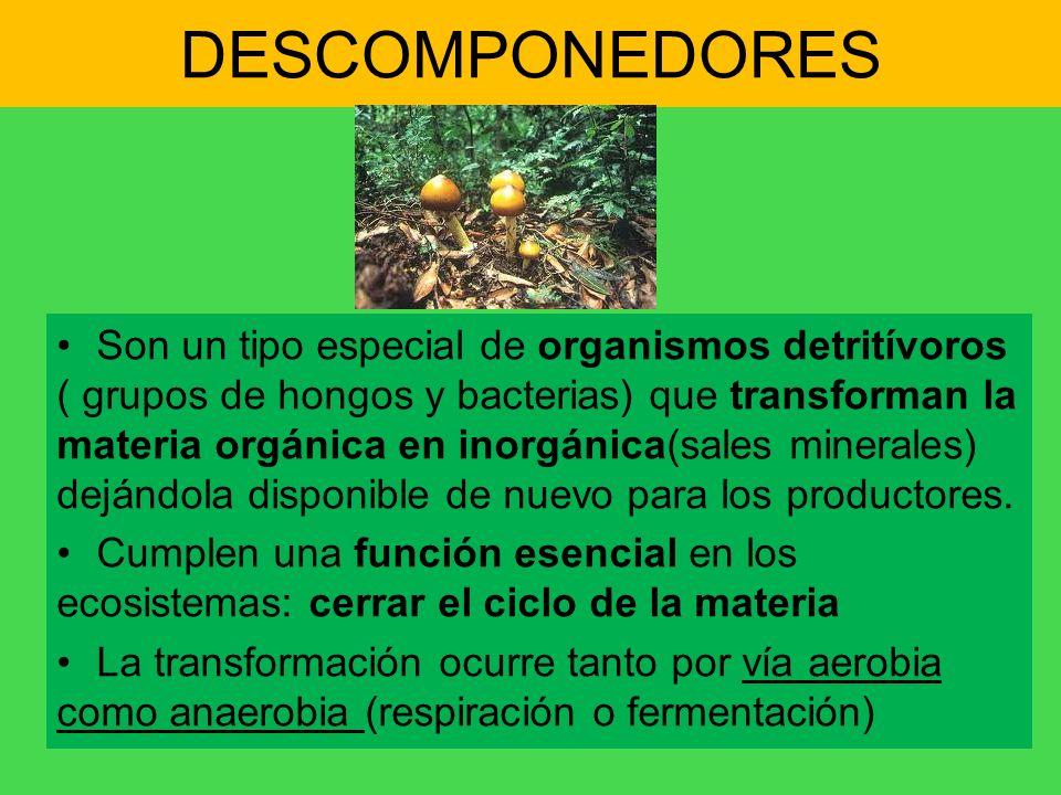 DESCOMPONEDORES Son un tipo especial de organismos detritívoros ( grupos de hongos y bacterias) que transforman la materia orgánica en inorgánica(sale