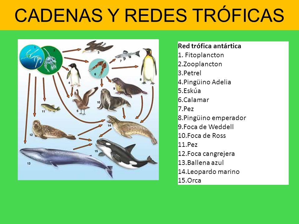 Red trófica antártica 1. Fitoplancton 2.Zooplancton 3.Petrel 4.Pingüino Adelia 5.Eskúa 6.Calamar 7.Pez 8.Pingüino emperador 9.Foca de Weddell 10.Foca
