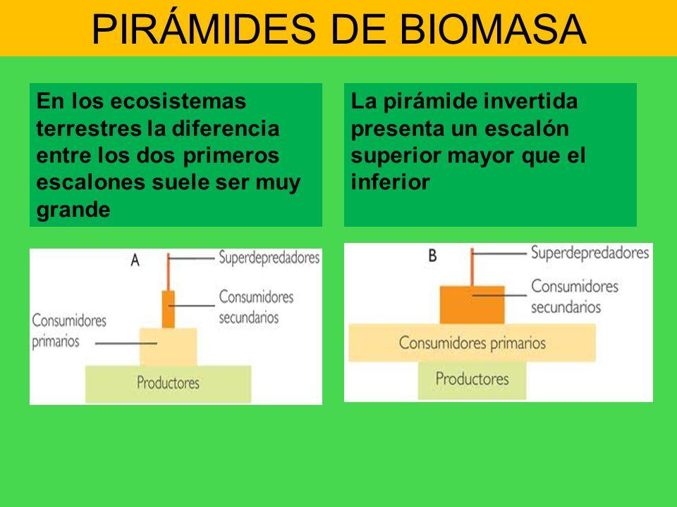 PIRÁMIDES DE BIOMASA En los ecosistemas terrestres la diferencia entre los dos primeros escalones suele ser muy grande La pirámide invertida presenta