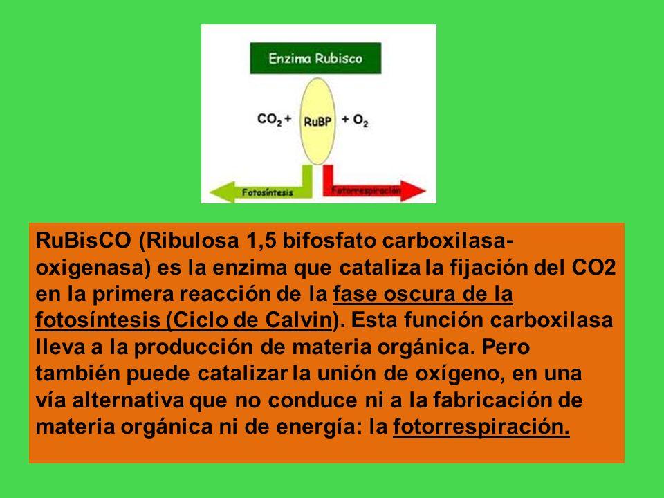 RuBisCO (Ribulosa 1,5 bifosfato carboxilasa- oxigenasa) es la enzima que cataliza la fijación del CO2 en la primera reacción de la fase oscura de la f
