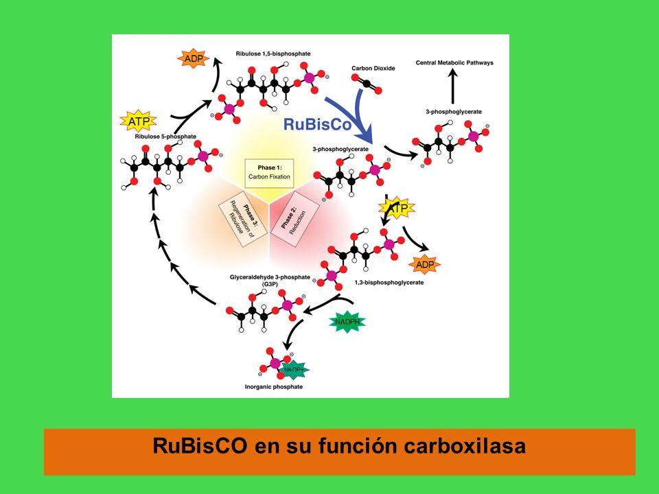 RuBisCO en su función carboxilasa