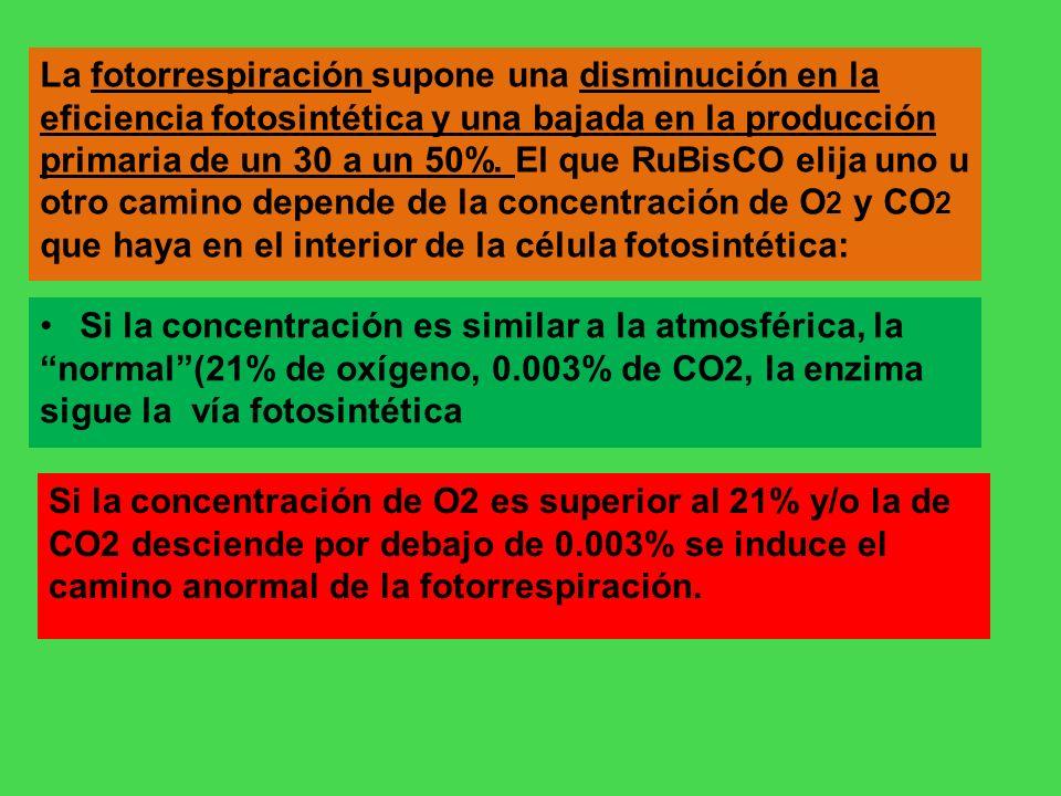 La fotorrespiración supone una disminución en la eficiencia fotosintética y una bajada en la producción primaria de un 30 a un 50%. El que RuBisCO eli