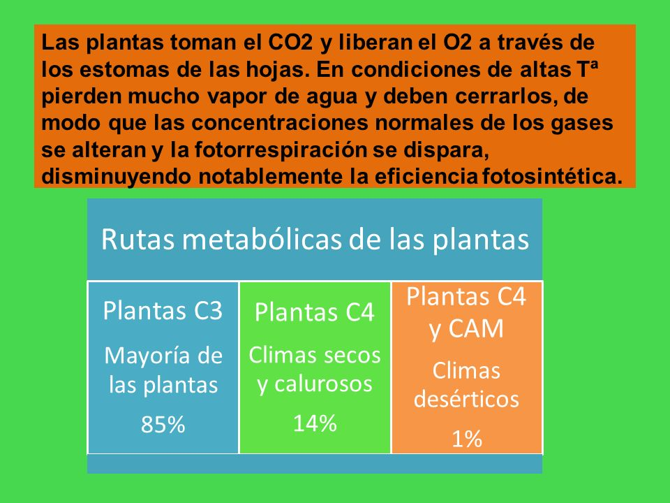 Las plantas toman el CO2 y liberan el O2 a través de los estomas de las hojas. En condiciones de altas Tª pierden mucho vapor de agua y deben cerrarlo