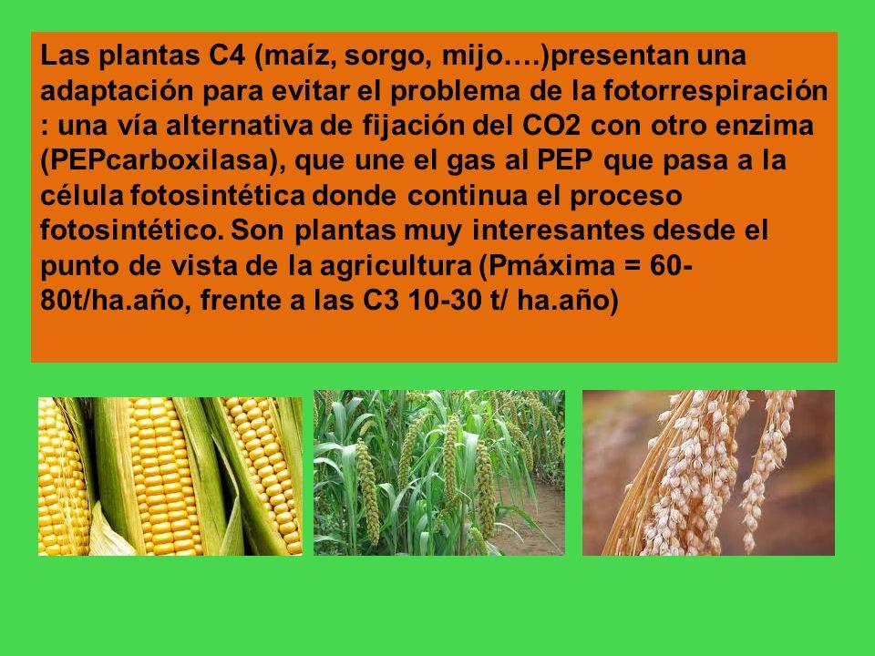 Las plantas C4 (maíz, sorgo, mijo….)presentan una adaptación para evitar el problema de la fotorrespiración : una vía alternativa de fijación del CO2