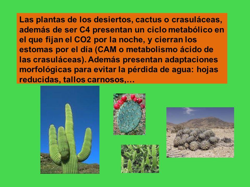 Las plantas de los desiertos, cactus o crasuláceas, además de ser C4 presentan un ciclo metabólico en el que fijan el CO2 por la noche, y cierran los