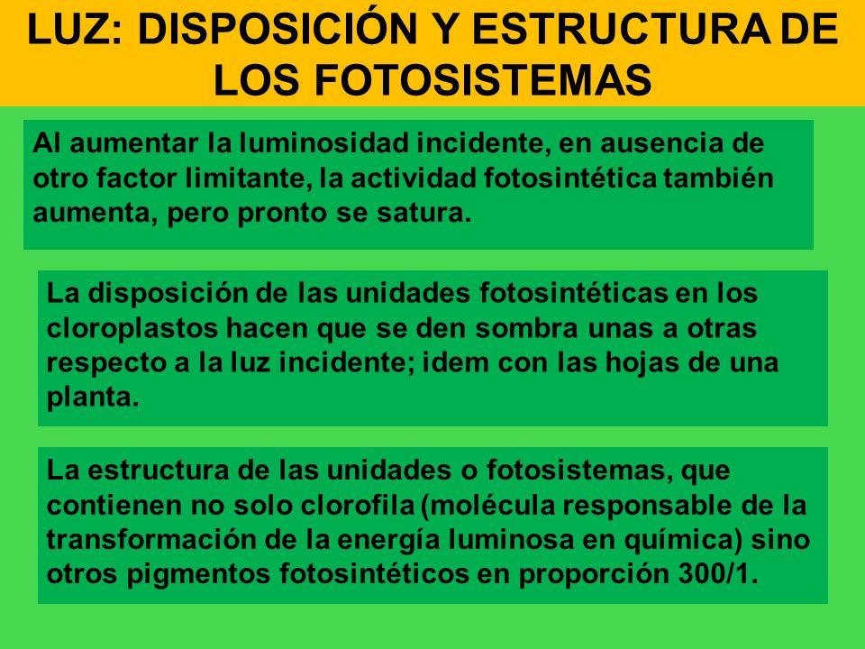 LUZ: DISPOSICIÓN Y ESTRUCTURA DE LOS FOTOSISTEMAS Al aumentar la luminosidad incidente, en ausencia de otro factor limitante, la actividad fotosintéti